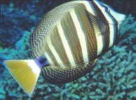 Sailfin Tang at Harrier Reef