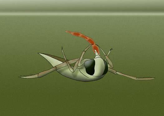 Backswimmer Illustration