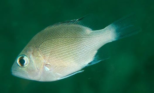 Red Bass - juvenile
