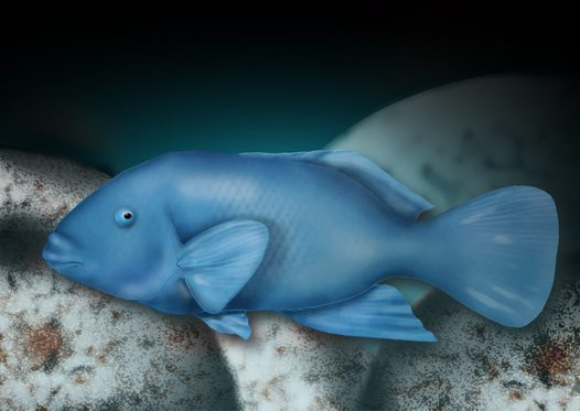 Blue Groper Illustration
