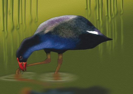Purple Swamphen Illustration
