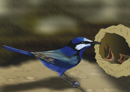 Splendid Fairy-wren Illustration