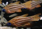 Blue-eye Cardinalfish in Segond Channel