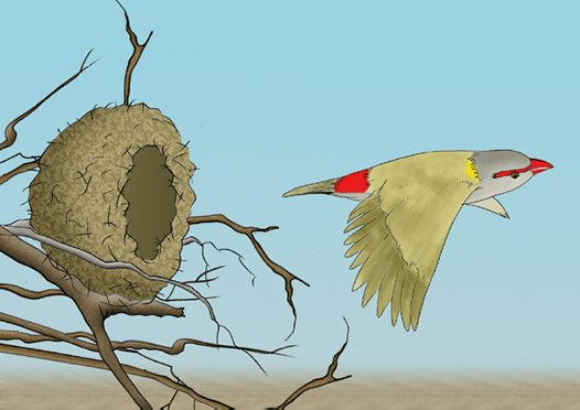 Red-browed Finch Illustration