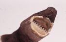Head of a Largetooth Cookiecutter shark