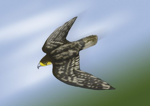 Peregrine Falcon Illustration