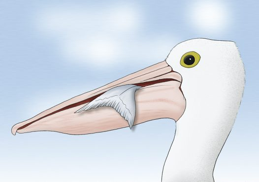 Australian Pelican Illustration