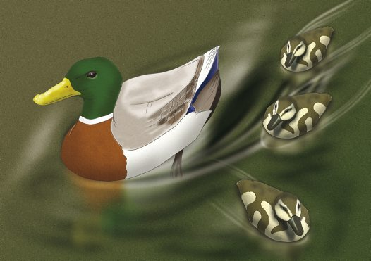 Mallard Illustration