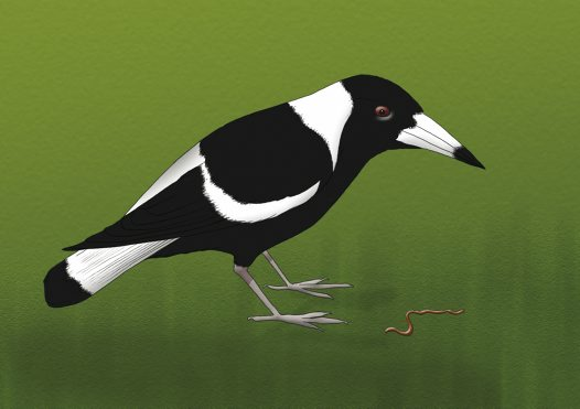 Australian Magpie Illustration