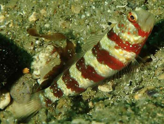 Burgundy Shrimpgoby at Fairy Bower
