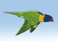 Rainbow Lorikeet Illustration