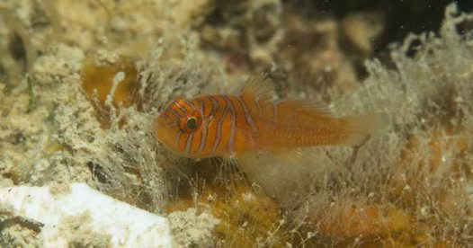 Halfbarred Reefgoby, Priolepis semidoliata