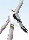 Black-shouldered Kite Illustration