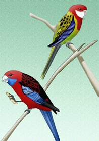Eastern Rosella & Crimson Rosella Illustration