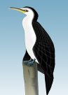 Little Pied Cormorant Illustration