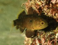 Bulls-eye Cardinalfish at Fairy Bower