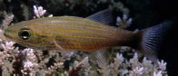 Wolf Cardinalfish in Segond Channel