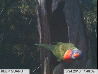 Rainbow Lorikeet in hollow