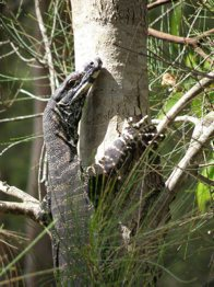 Lace Monitor on tree