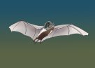 White-striped Freetail-bat Illustration