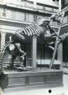 Long Gallery, Giant sloth skeleton, c1890s
