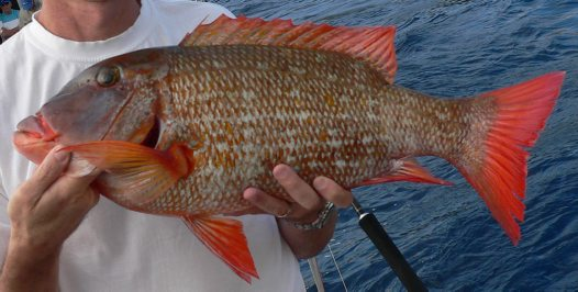 Longfin Emperor caught at Maskelyne Islands, Vanuatu