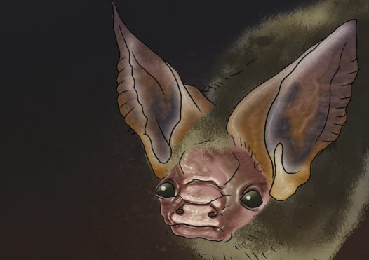 Gould's Long-eared Bat Illustration