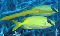 Trumpetfish and Masked Rabbitfish
