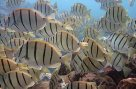 School of Convict Surgeonfish