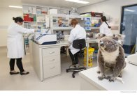 Koala genome team