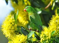 Scaly-breasted Lorikeet in yellow tree