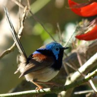 Variegated Fairy-wren on small branch