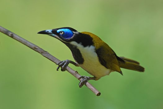 Blue-faced Honeyeater on branch