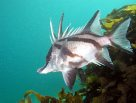 Longsnout Boarfish at Bicheno