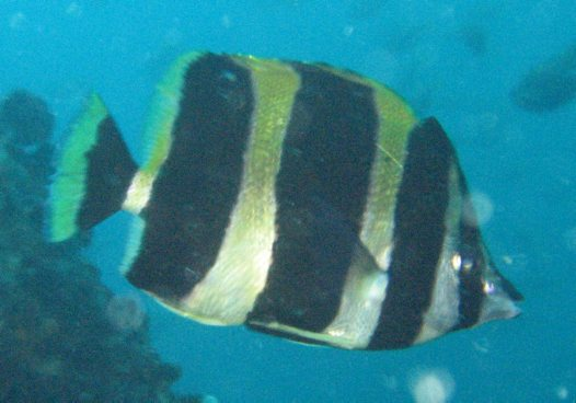 Lord Howe Butterflyfish at Broughton Island