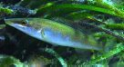Blue Weed-whiting, Haletta semifasciata