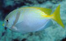 Bluelined Rabbitfish at Agincourt Reef