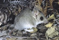 Common Dunnart, close up
