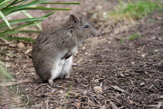Long-nosed Potoroo, standing