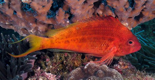 Lyretail Hawkfish at North Solitary Island