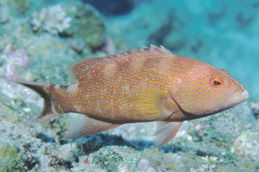 White-edge Coronation Trout at 'Lighthouse', Ribbon Reef