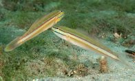 Immaculate Glidergobies in Sydney Harbour