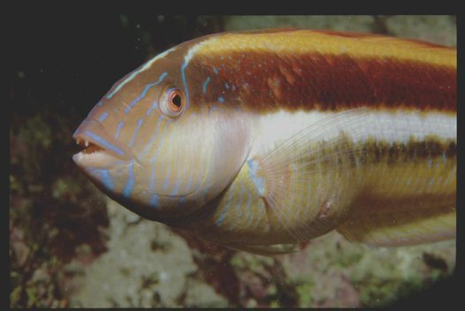 Southern Maori Wrasse at Gordon's Bay