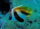 A Masked Bannerfish at Osprey Reef