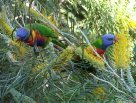 Rainbow Lorikeet feeding on nectar