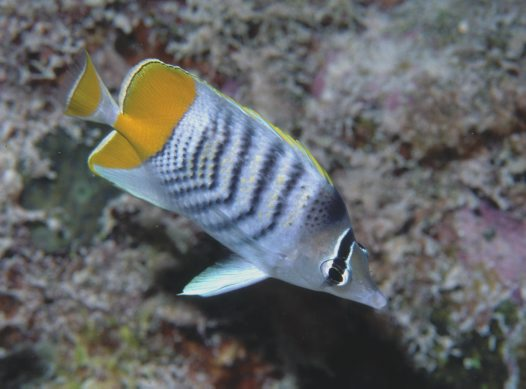 Merten's Butterflyfish at Bougainville Reef