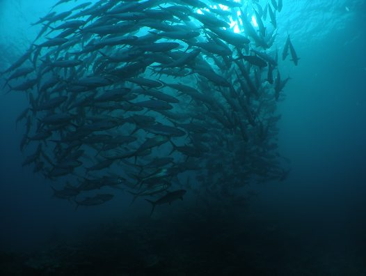 Spawning aggregation of Milkfish at Ribbon Reef