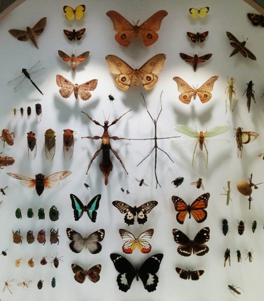 Pinned Insect Display