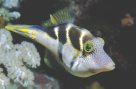 A Mimic Leatherjacket at 'Pixie's Pinnacle'
