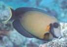 A Mimic Surgeonfish at 'Steve's Bommie'
